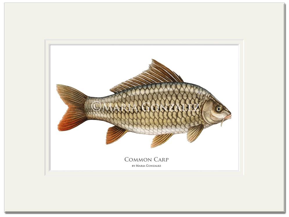Common Carp Print by Maria Gonzalez