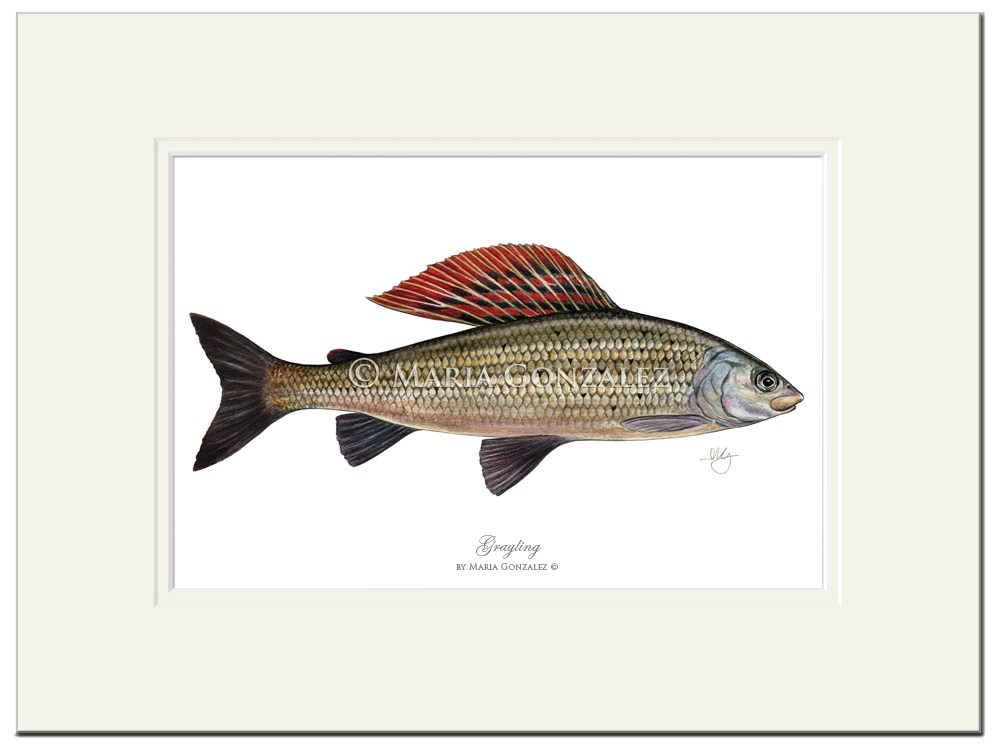 Grayling Print in Mount by Maria Gonzalez