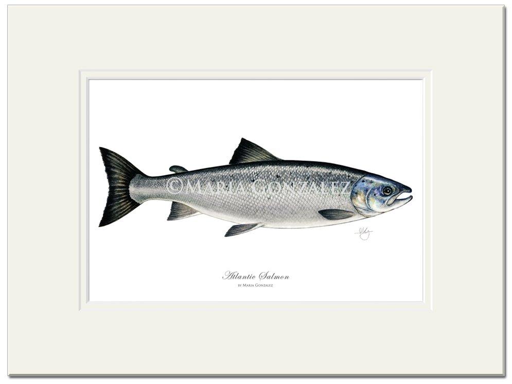 Atlantic Salmon by Maria Gonzalez